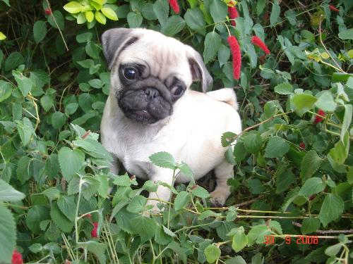 My pug Betty-Sue - isn't she adorable