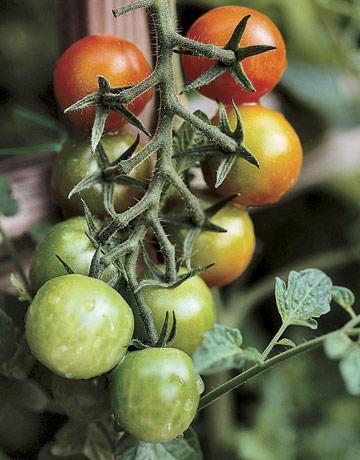 tomatoes - cherry tomatoes