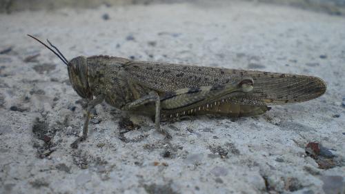 Grasshopper - A Grasshopper in my garden,seen on 13th of november.
