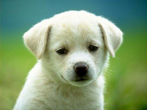 puppy - Lovely White Puppy