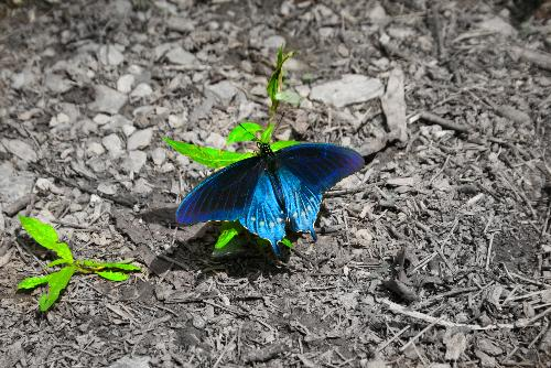 edited butterfly - This is my edited blue butterfly.