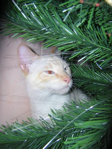 Khuay, one of the klutz klan - Khuay loves Christmas! He sleeps under the tree constantly during the Christmas season. Last year he totally removed all the orniments-but he was only about 6 months old at the time.