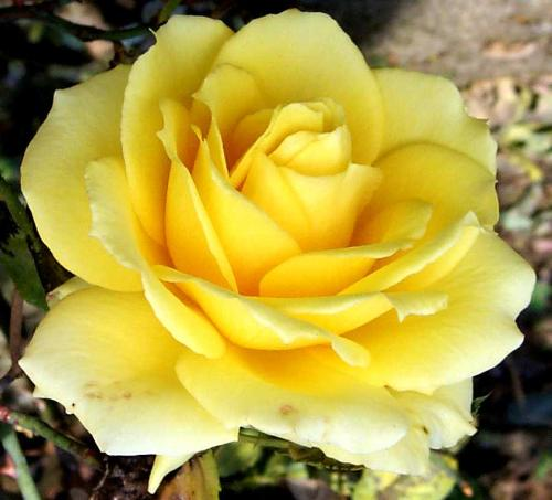 Yellow Rose - A really pretty yellow rose my Fav!