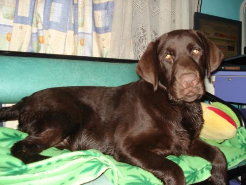 caspian my chocolate labrador - this is caspian,he is now 9 months old and weighs 33 kilos! lol!