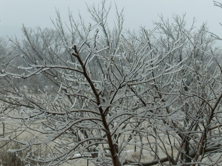 Picture of ice on the trees - This is a picture of ice on my trees, we've had about an inch of ice since yesterday and its still sleeting right now.