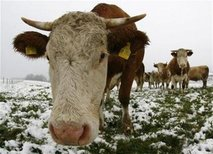 Cow - This a a photo of a cow. Cows graze in a snow covered field near the southern Bavarian resort of Kochel