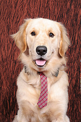 Golden Retriever - What a handsome hunk!