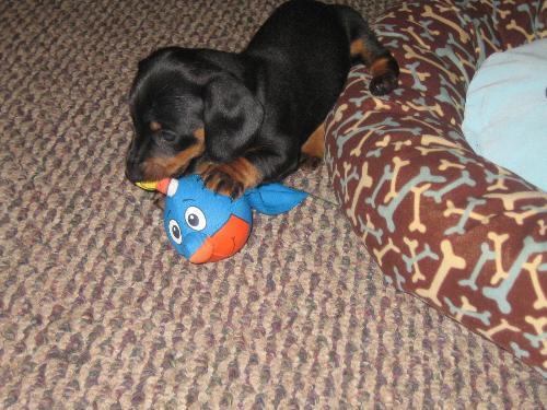 Puppy - Our new puppy, Elvis