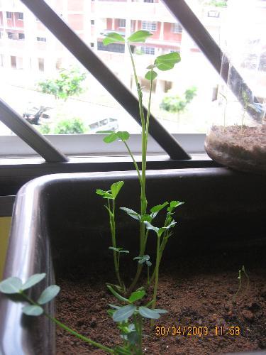 plant a peanut - a small peanut seed grow to a plant