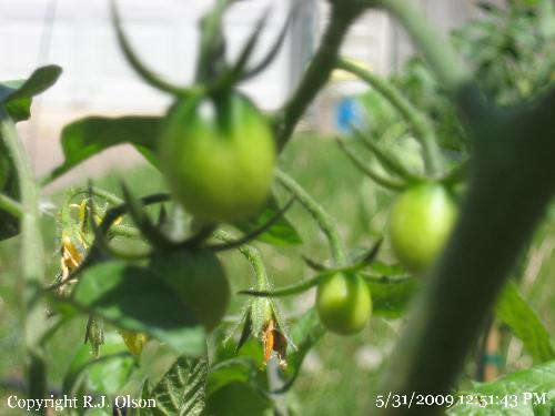 Grape Tomatoes - Strarting to grow great now.