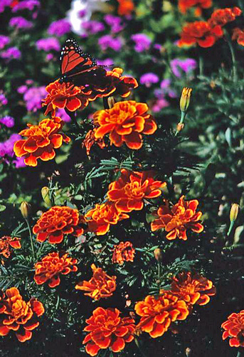 Marigolds from the Library Garden  - image of flowers I photographed from the library garden