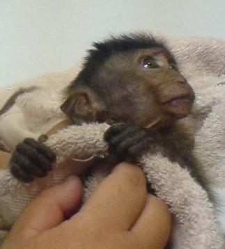 helpless baby monkey - baby long tailed macaque, QiQi