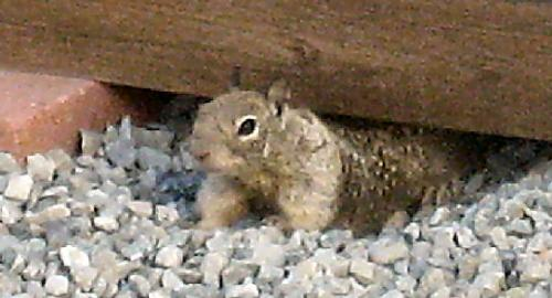 A common ground squirrel - This isn't a very good photo, but these are wild creatures who do not let one get close, so I took the picture from inside the house, though the window at some distance.
