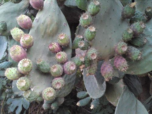 Fichi d'india - prickly pears from Sicily