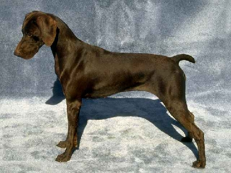 Liver German Shorthaired Pointer - An example of a liver colored German Shorthaired Pointer.
