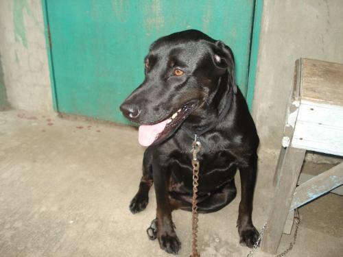 Black Lab - Black Female Labrador. Cute!