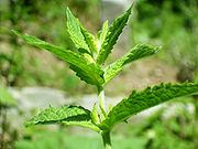 Spearmint - Spearmint is an aromatic herb used for flavoring food items. But it is also a herbal medicine. Spearmint tea heals headache,influenza,stomach and rheumatic pains.