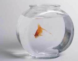 Gold Fish in a Bowl. - Gold Fish