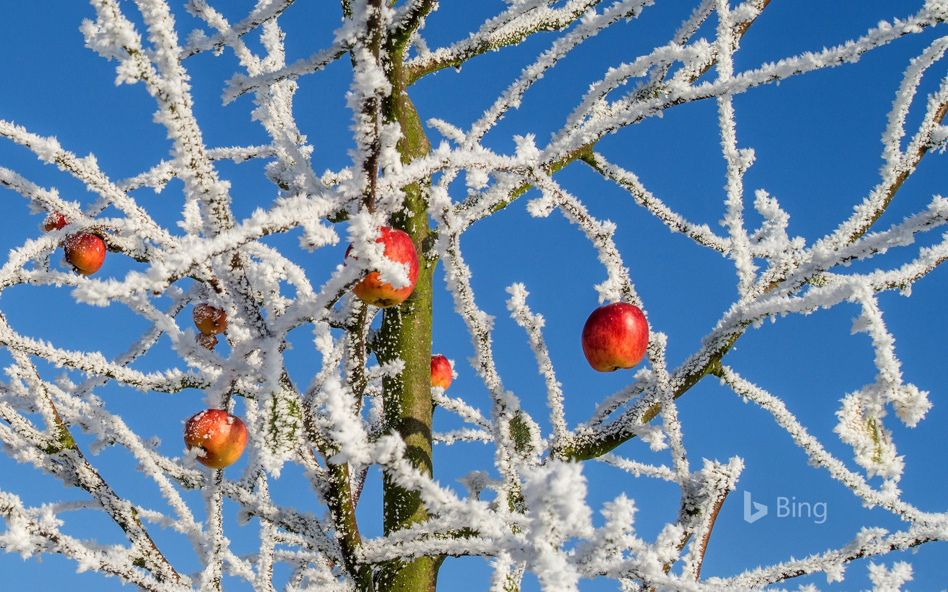 Snow Cherries from France