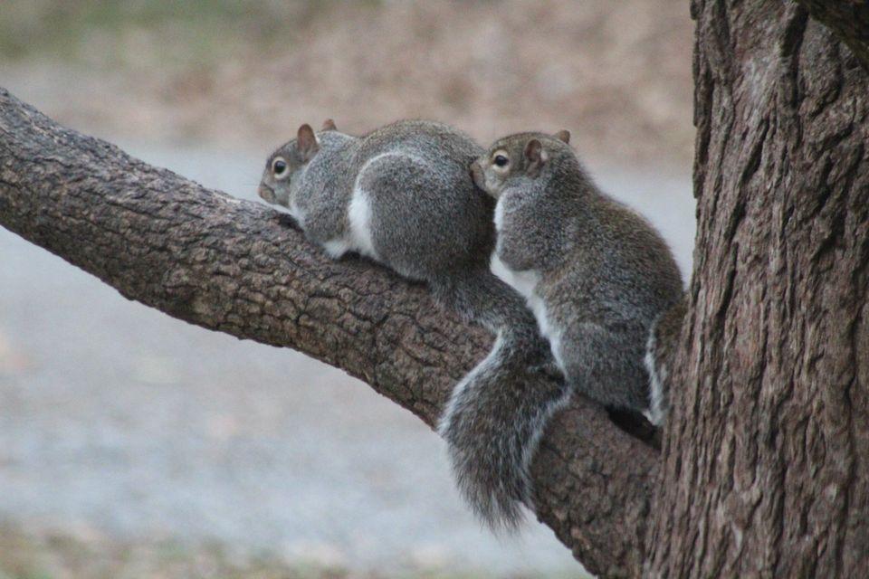 A pair of Eastern Grey Squirrels