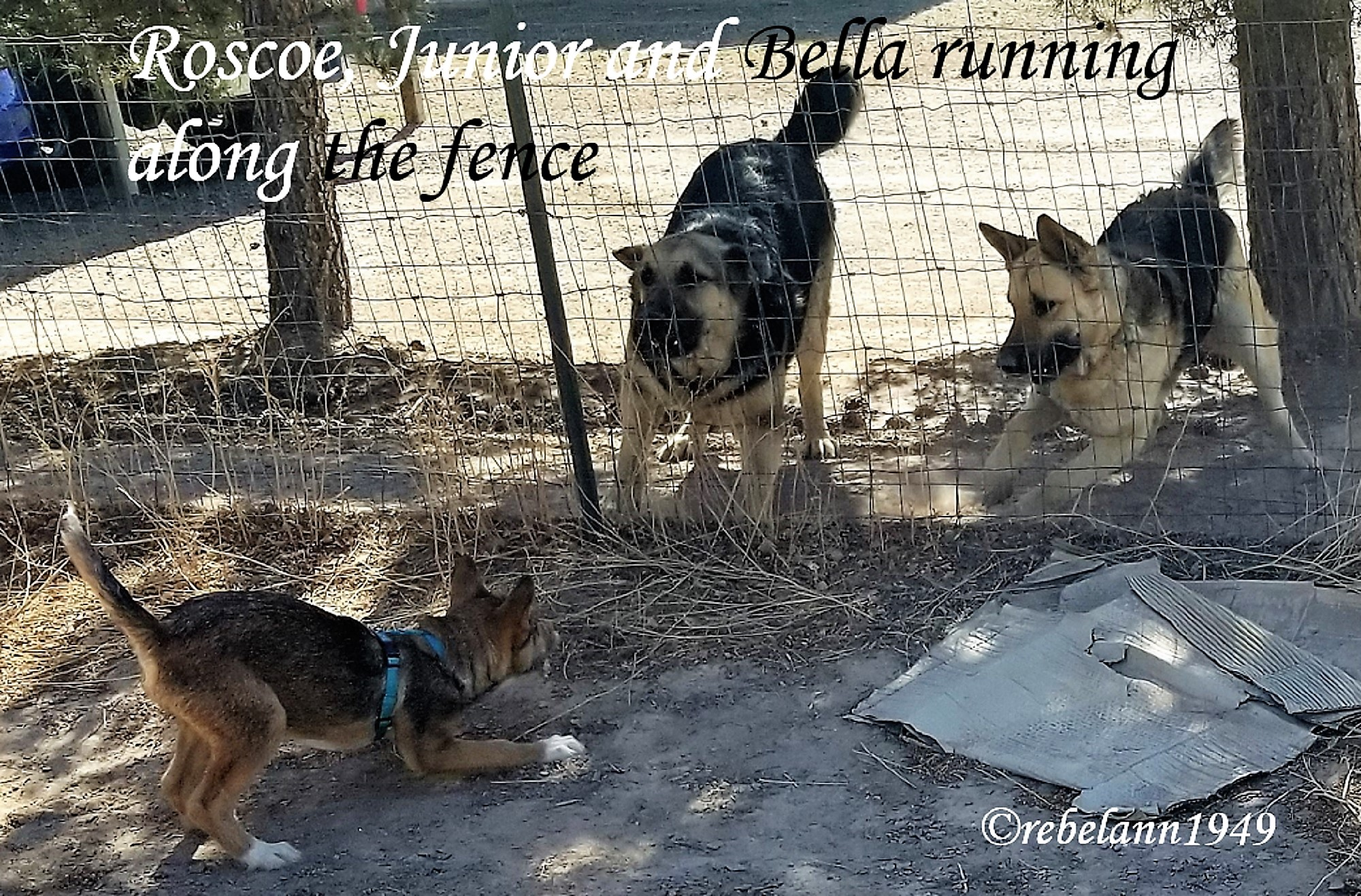 Roscoe is having a blast running with his pals along the fence line.