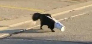 A skunk with a cup stuck inside of his head in Ontario Canada