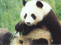 Pandas at Mysore zoo - Photographed at Mysore zoo