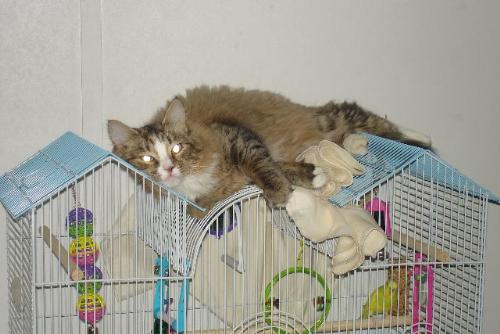 Kitty Ann and Sonny - The cat loves to terrorize the bird and sleeping on top of the cage ensures that she will be the first to know if he escapes.