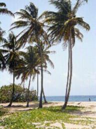 coconut tree - a coconut tree