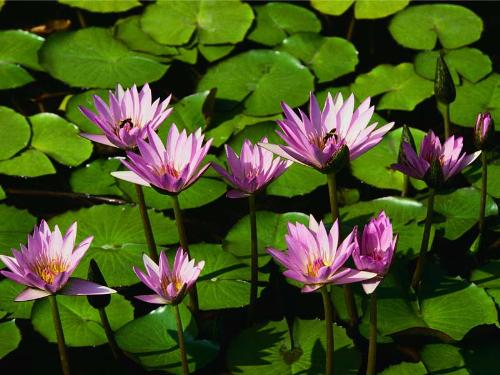 water lily - though it needs alot of water to live yet its outstand beauty tells its worth it
