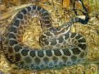 Snakes - Reptiles
