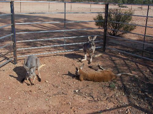 kangaroos - freedom