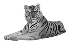 Tiger Picture - A great tiger full grown.