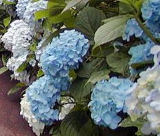 Hydrangeas - Blue hydrangea flowers