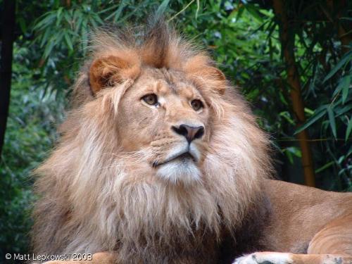 lion - lion