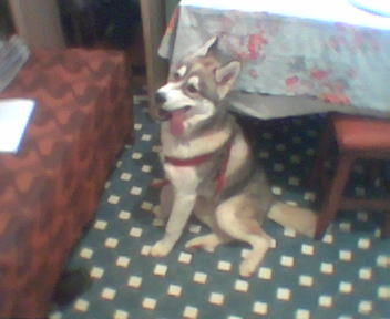 hy - he is a very beautiful dog and verry active
