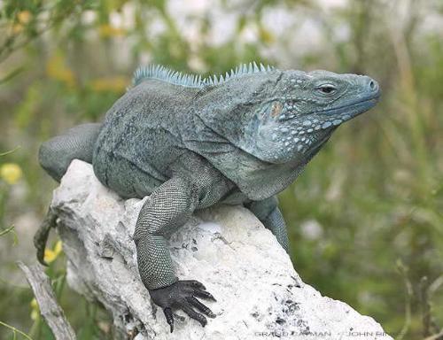 Blue Iguana - iguana