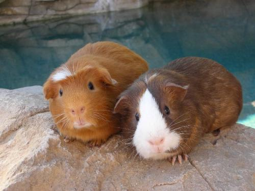 Foster Piggies Recently Adopted - Guinea pigs being fostered, recently were adopted.